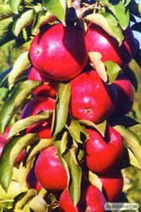 Колоновидна яблуня Арбат