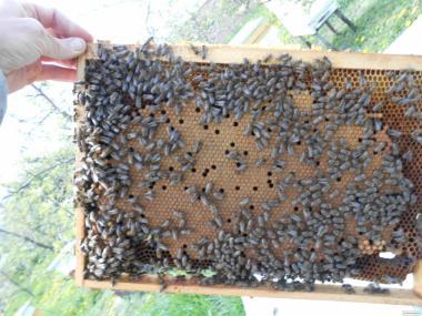 Пчелопакеты Карника F1