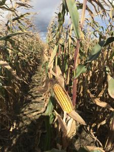 Пропонуємо насіння кукурудзи Амарок 300  ФАО 330