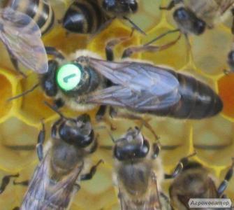 Бджоломатки породи карніка
