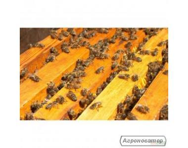 бджолопакети карпатки