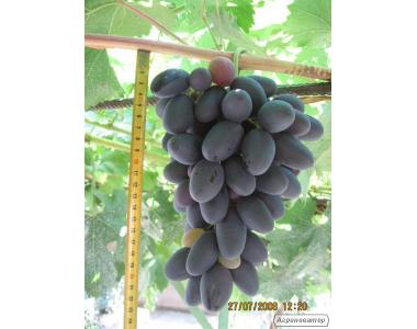 продам саженцы винограда велика и самба