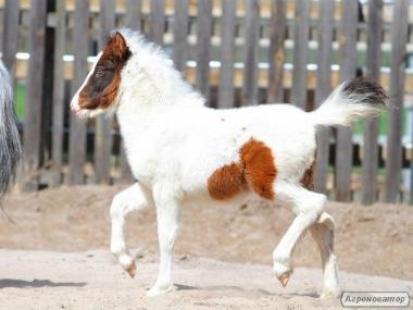 поні кобила Зефір