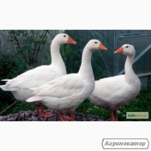 Продам домашніх гусей різного окрасу, ціна 220 грн