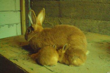 кролики бургундцы