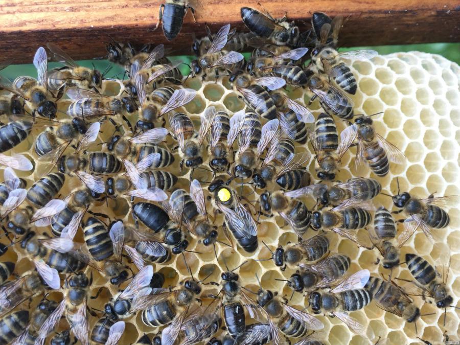 ПЛІДНІ БДЖОЛОМАТКИ Карпатка 2019 року (Бджоломатка, Бджолині матки)