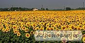 Українське сонечко гібрид