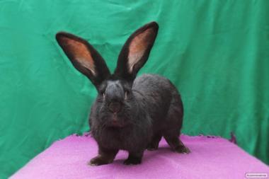 Продам крольчат породы великан: пёстрый, белый, чёрный ризер