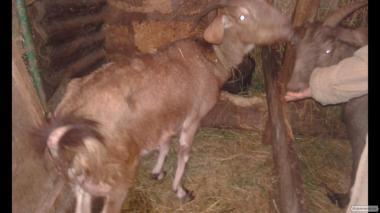 Продам нубийских козлят,козочек,козликов.
