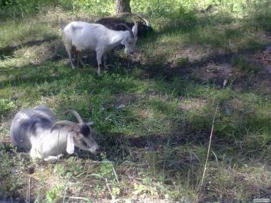Козы козлята козлы