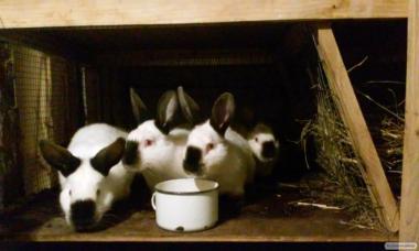 Продам кролів породи