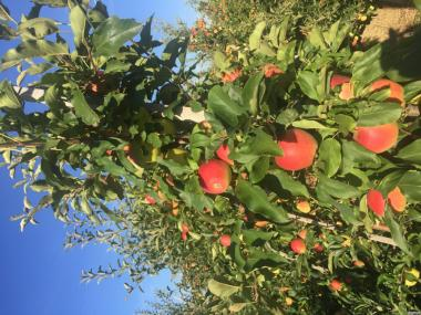 Фермерское хозяйство «Агросад+» предлагает Вам яблоки 9 элитных сор