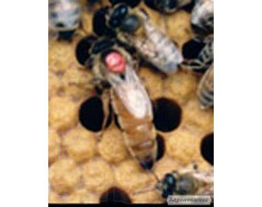 Продам бджіл, маток італійської породи