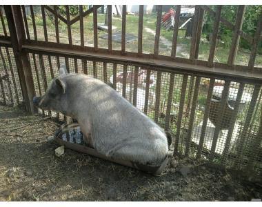 Поросята в'єтнамської породи породи