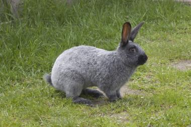 Племенные кролики Полтавское Серебро,