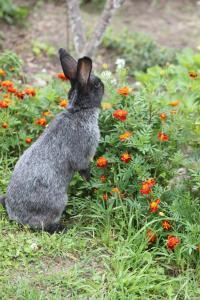 Племінні кролики  Полтавське Срібло,