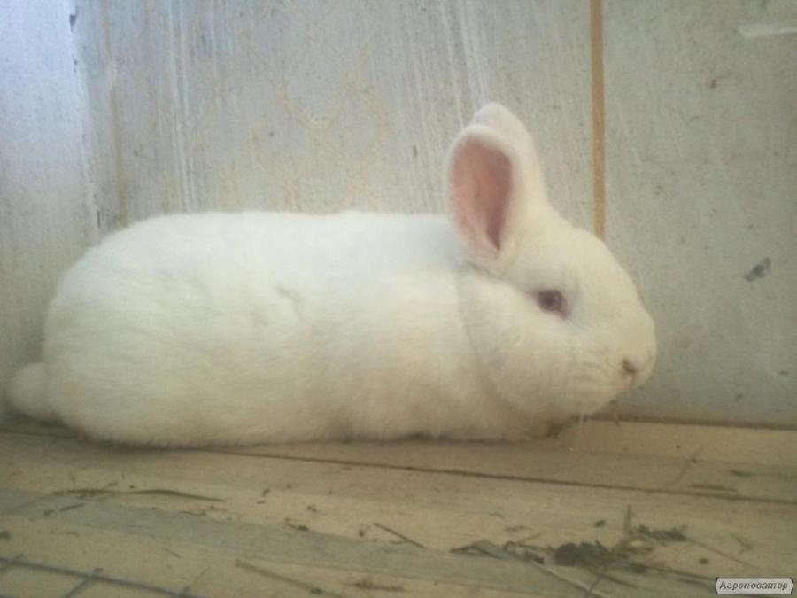 Продам кроликів білий Новозеландський НЗБ