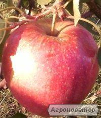 Продам вкусные яблоки - ЧЕМПИОН; ЛИГОЛ.
