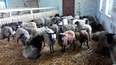 Продам овцы Романовской породы.