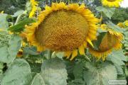 Насіння гібриду соняшнику - Нео