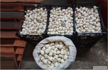 Продам чеснок яровой (урожай 2016 года)