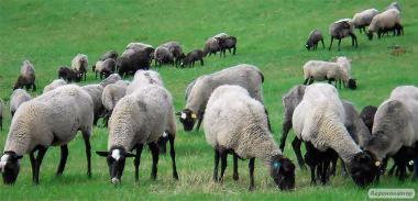 куплю романовских ярок и овец