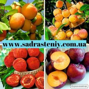 Саженцы крупноплодных сортов вишни и черешни и многое другое