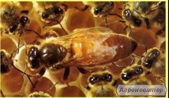 Продам бджолопакети, сім'ї