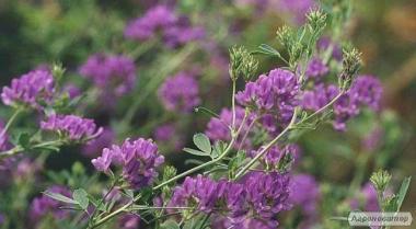 Семена люцерны, суданской травы и эспарцета