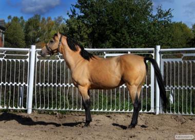 Обмін або продаж кінь верхової породи