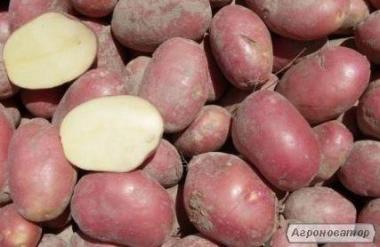 Продам товарну картоплю, сорт Алладін (5 тонн)