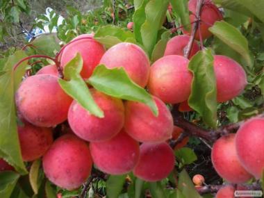 Саджанці абрикоса різних сортів