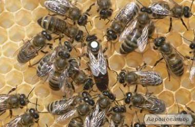 Пчеломатки украинская степная (племзавод)