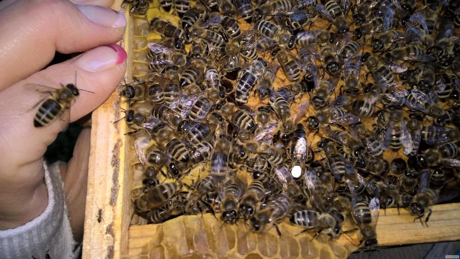 пчеломатки карпатка