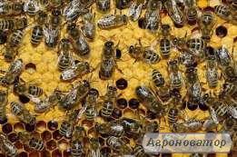 Продам пчелиные пакеты