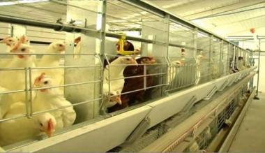 Комплект обладнання ОКБП для вирощування батьківського стада курей-несучок