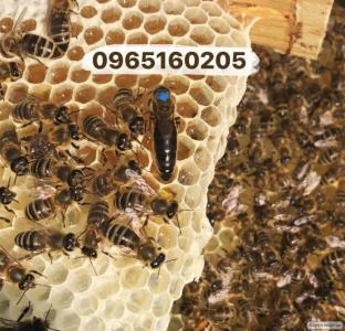 Продам качественные пчеломатки карпатской породы (пчеломатки, матки)