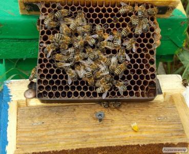 Пчелопакеты 2017