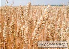 Семена озимой австрийской пшеницы – сорт БАЛАТОН. 1 репродукция