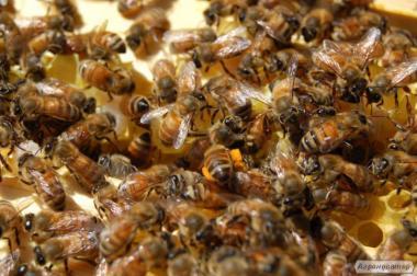 Продам пчел,пчелосемьи