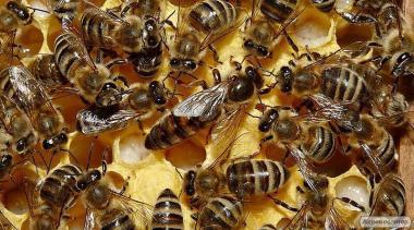 Продам бджолині матки Бакфаст F1