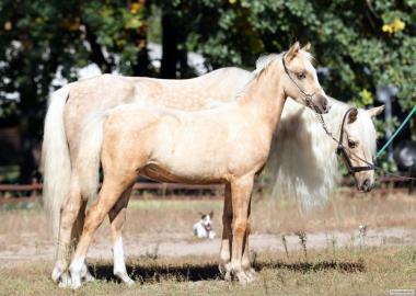 Кінь Голден Рей