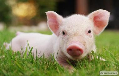 Куплю свиньи