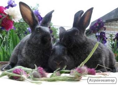 Продаю кроликов породы Полтавское, Европейское серебро, Строкачи