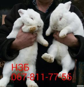 Племенные кролики НЗБ(Новозеландские Белые)