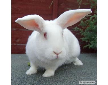котные самки кролика породы Термон белый и Хилла