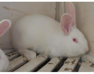 Кролик-акселерат