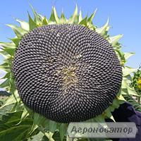 Насіння соняшнику сорту Запорізький кондитерський від виробника