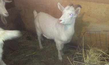продам молоду 10-місячну козу