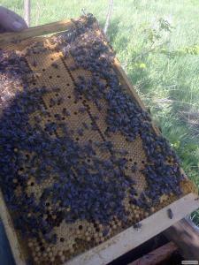Продам відводки бджіл української степової породи в кількості 150 штук